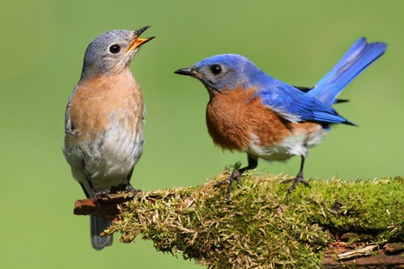 Pair of Eastern Bluebird (Sialia sialis) on a log with moss Stock Photo