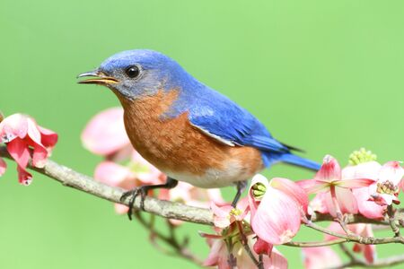 Male Eastern Bluebird (Sialia sialis) in a Dogwood tree with flowers photo