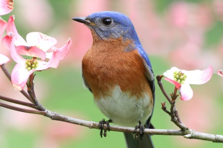 Male Eastern Bluebird (Sialia sialis) in a Dogwood tree with flowers