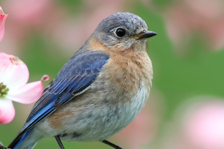 Male Eastern Bluebird (Sialia sialis) in a Dogwood tree with flowers Stock Photo - 9442952