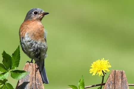 Male Eastern Bluebird (Sialia sialis) on a fence with Dandylion flowers and Virginia Creeper photo