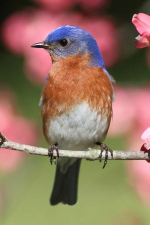 꽃 층층 나무에서 남성 동부 블루 버드 (Sialia sialis)