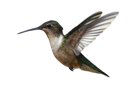 ornithology: Male Ruby-throated Hummingbird (archilochus colubris) in flight isolated on a white background