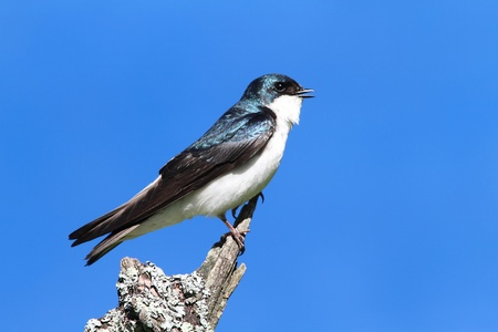 Tree Swallow (tachycineta bicolor) on a stump with a blue sky background Stock Photo