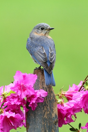 azalea: Female Eastern Bluebird (Sialia sialis) on a fence with azalea flowers Stock Photo