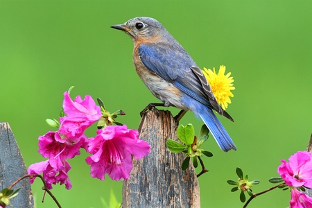 Female Eastern Bluebird (Sialia sialis) on a fence with azalea flowers Stock Photo
