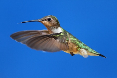 ruby throated: Female Ruby-throated Hummingbird (archilochus colubris) in flight with blue background Stock Photo