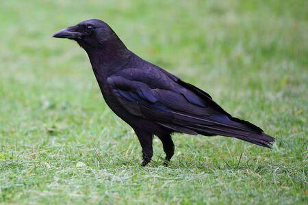 corvus: American Crow (Corvus brachyrhynchos) en un campo de hierba Foto de archivo