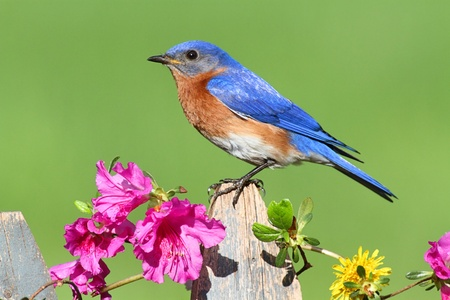 azalea: Male Eastern Bluebird (Sialia sialis) on a fence with Dandylion flowers and pink azalea flowers