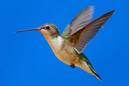 Female Ruby-throated Hummingbird (archilochus colubris) in flight with blue background Banco de Imagens