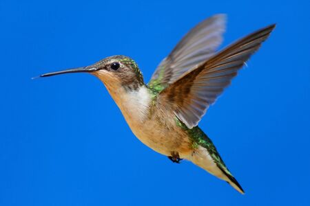 Female Ruby-throated Hummingbird (archilochus colubris) in flight with blue background Stock Photo - 9680392