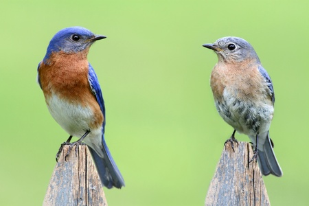 eastern bluebird: Pair of Eastern Bluebird (Sialia sialis) on a fence with a green background