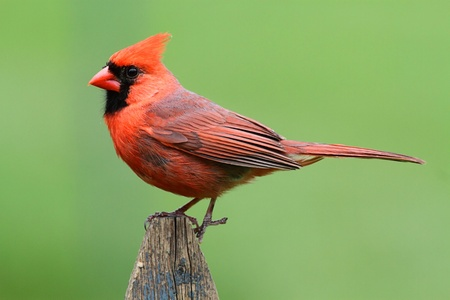 Male Northern Cardinal (cardinalis cardinalis) on a fence with a green background Stock Photo