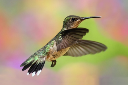 Female Ruby-throated Hummingbird (archilochus colubris) in flight with a colorful background photo