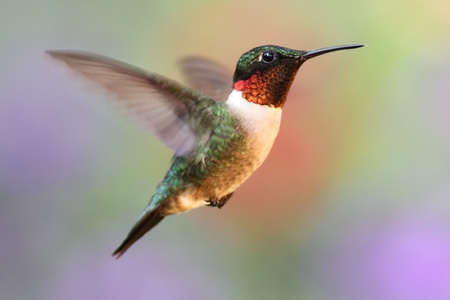 Male Ruby-throated Hummingbird (archilochus colubris) in flight with a colorful background photo