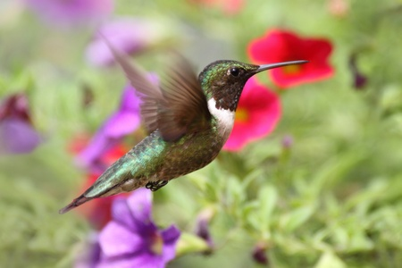 Male Ruby-throated Hummingbird (archilochus colubris) in flight with a flowers