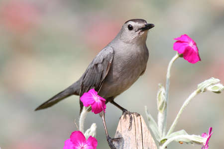 gray catbird: Gray Catbird (Dumetella carolinensis) on a fence with flowers Stock Photo