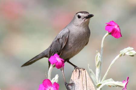 catbird: Gray Catbird (Dumetella carolinensis) on a fence with flowers Stock Photo