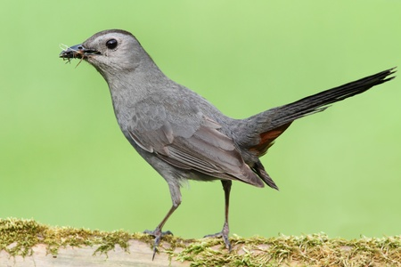 Gray Catbird (Dumetella carolinensis) on a moss covered log Stock Photo - 9765436
