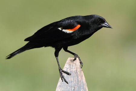 Red-winged Blackbird (Agelaius phoeniceus) perched on a fence Stock Photo - 9765387