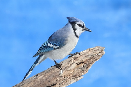Blue Jay (corvid cyanocitta) perched on a stump with a blue sky background