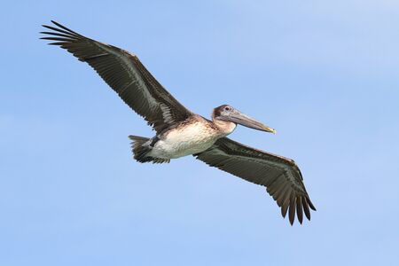 pelecanus: Brown Pelican (Pelecanus occidentalis) in volo sopra la Florida Everglades