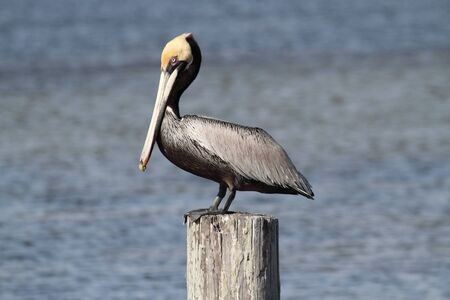 Pelican: Brown Pelican (Pelecanus occidentalis) perched on a pier the Florida Everglades Stock Photo