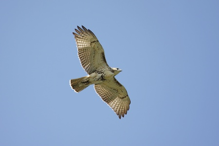 raptor: Red-tailed Hawk (buteo jamaicensis) flying against a blue sky Stock Photo