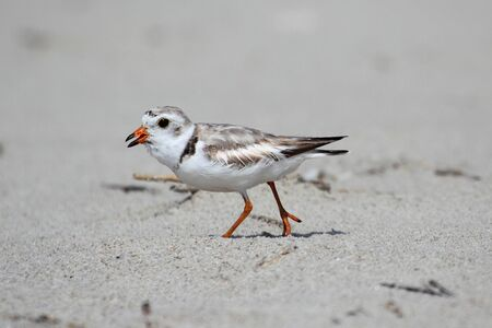 Endangered Piping Plover (Charadrius melodus) on a beach Stock Photo