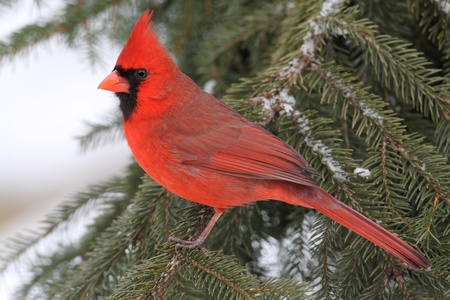 Male Northern Cardinal (cardinalis cardinalis) on a Spruce branch covered with snow
