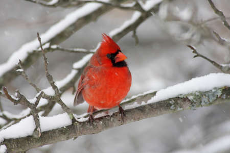 Male Northern Cardinal (cardinalis cardinalis) on a branch covered with snow photo