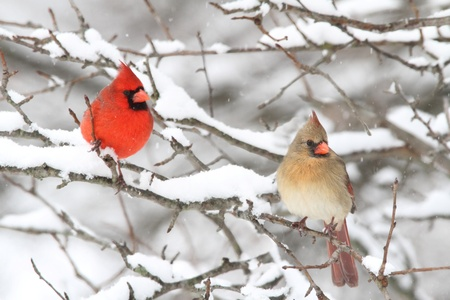 Pair of Northern Cardinal (cardinalis cardinalis) in a tree in a snow storm