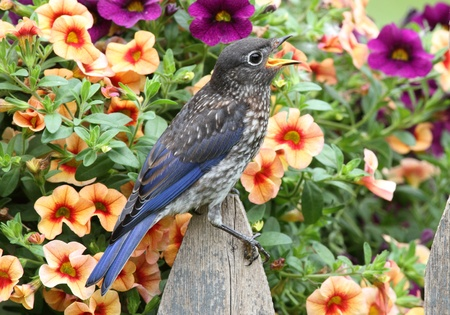 Juvenile Eastern Bluebird (Sialia sialis) on a fence covered with flowers photo