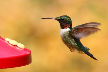 ruby throated: Male Ruby-throated Hummingbird (archilochus colubris) at a feeder with a floral background Stock Photo