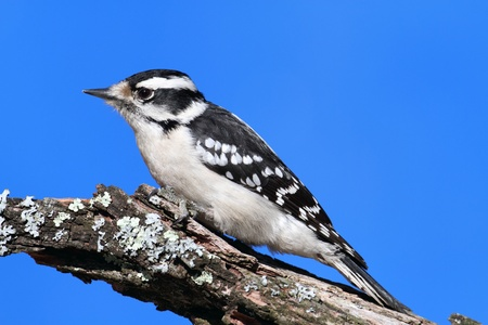 downy: Female Downy Woodpecker (picoides pubescens) on a branch with a blue sky background Stock Photo