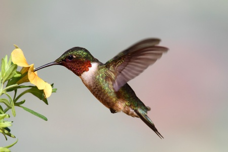 Male Ruby-throated Hummingbird (archilochus colubris) in flight with a yellow flower and a colorful background Standard-Bild