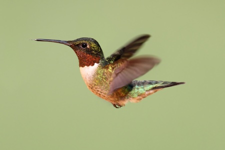 Male Ruby-throated Hummingbird (archilochus colubris) in flight with a green background photo