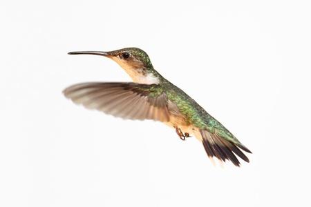colibries: Mujer colibrí garganta rubí (Archilochus Colubris) en vuelo aislado en un fondo blanco Foto de archivo