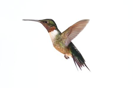 pajaros volando: Macho Archilochus colubris (archilochus Gorgirrojo) en vuelo aislado en un fondo blanco