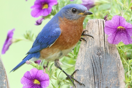 Male Eastern Bluebird (Sialia sialis) on a fence covered with flowers Archivio Fotografico