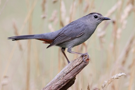 Gray Catbird (Dumetella carolinensis) on a log in a field Stock Photo - 9969484