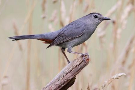catbird: Gray Catbird (Dumetella carolinensis) on a log in a field Stock Photo