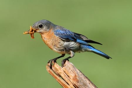 eastern bluebird: Female Eastern Bluebird (Sialia sialis) on a branch with a worm