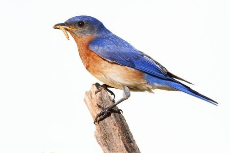 gusanos: Oriental Bluebird (Sialia SP) en un palo con un gusano - aislado sobre un fondo blanco