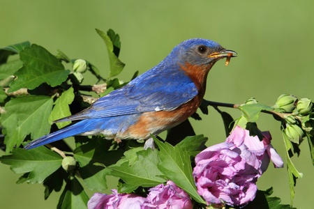 Male Eastern Bluebird (Sialia sialis) in a branch of Hibiscus flowers