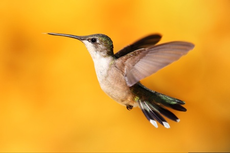 Female Ruby-throated Hummingbird (archilochus colubris) in flight with a colorful background of out of focus Sunflowers Banco de Imagens