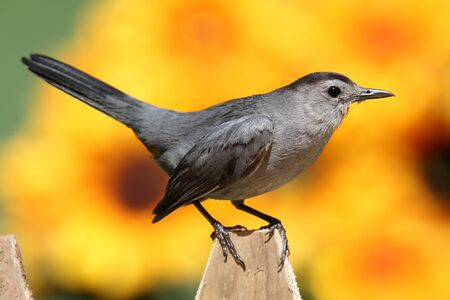 gray catbird: Gray Catbird (Dumetella carolinensis) on a fence with flowers and a colorful background of sunflowers