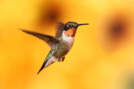 Male Ruby-throated Hummingbird (archilochus colubris) in flight with a colorful background of out of focus Sunflowers Stock Photo
