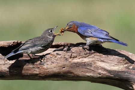 Male Eastern Bluebird (Sialia sialis) feeding a hungry baby on a log