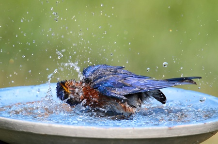 Eastern Bluebird (Sialia sialis) in a bird bath Stock Photo